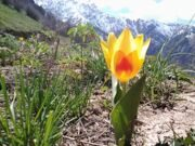 Uzbekistan hiking trekking and tulips watching in Ugam-Chatkal national park mountain Patandazboshi
