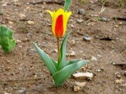 Uzbekistan Tulips Watching Hiking April 2019 Fixed Date Guaranteed Tours Uzbekistan Tulipa Kaufmanniana Regel (2)