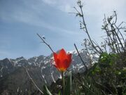 Uzbekistan mountain tulips watching hiking trekking in Ugam-Chatkal national park through Gulkam canyon