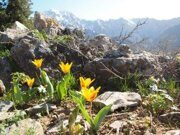 Uzbekistan mountains Tulipa tschimganica Z.Botsch hiking (4)