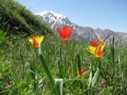 Uzbekistan hiking and tulips watching in Ugam-Chatkal national park