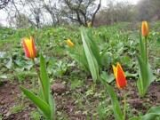 Uzbekistan tulips watching hiking trekking and in Ugam-Chatkal national park to mountain Patandazboshi peak