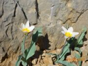 Uzbekistan hiking trekking  tulips watching tour in Ugam-Chatkal national park to Urungach mountain lakes